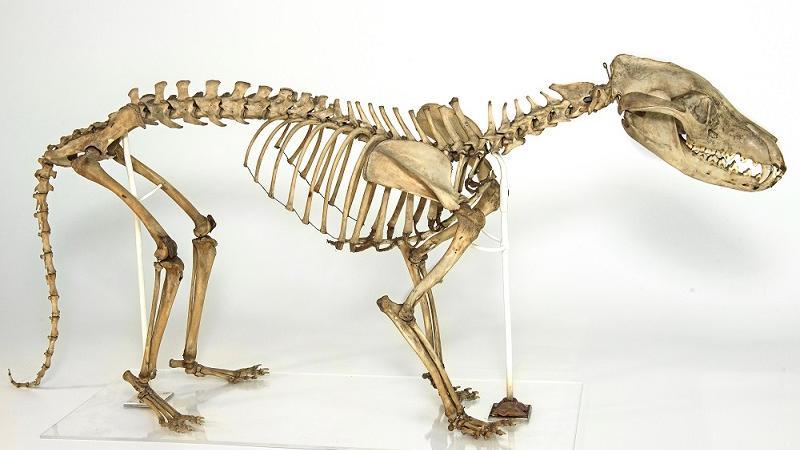 thylacine museum of zoology